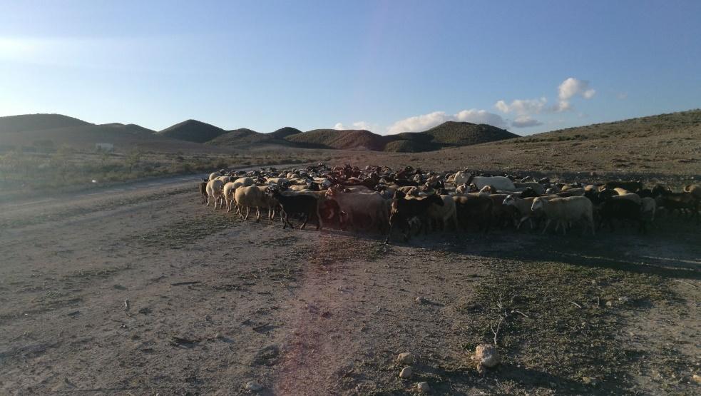 Rebaño de cabras en Fernán Pérez